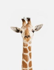 montrose_menagerie_giraffe